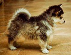 No, non è un peluche. Si chiama Pomsky ed è un incrocio tra un volpino e un Husky. Rimane di queste dimensioni per tutta la vita!