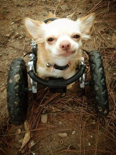 Roo, the two-legged chihuahua who was rescued by the Duluth Animal Hospital when he was just seven weeks old.