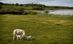 New lambs at Fyns Hoved, northeast Funen, Denmark... | Flickr - Photo Sharing!