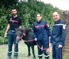 Un poney dans la piscine ! : Papillote, entouré par ses sauveteurs, des pompiers de Montech.