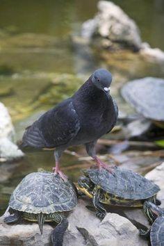 Esta paloma que sabe que dos son mejor que uno. | 23 Animalitos que se fueron a dar un paseo sobre otro animalito