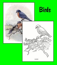 Cornell Lab Of Ornithologys Free FEEDER BIRDS COLORING BOOK A Lovely Introduction For Beginning Bird Watching And Identification Other Grea