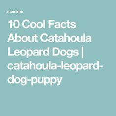 10 Cool Facts About Catahoula Leopard Dogs | catahoula-leopard-dog-puppy