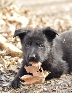 I want another German shepherd so bad. Best dogs in the world!