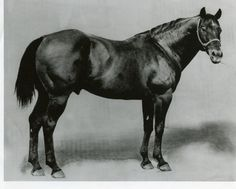 King was foaled around 1932 and he was considered an ideal Quarter horse. Many horses have been modeled on King P-234. He was the 234th horse registered by AQHA. (Steel Dust pedigree)