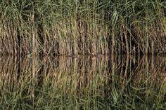 Os patos selvagens (Anas platyrhynchos) escondidos pelos juncos podem ser vistos em um dos lagos dentro dos pantanais de Vacaresti, em Bucareste, Roménia, julho 23, 2016. Fotos de Inquam / Octav Ganea