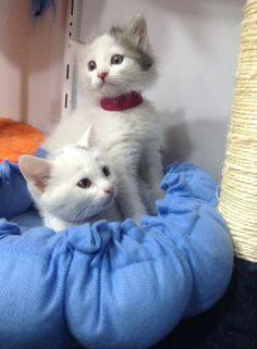 1,5 Aylık Chinchilla Melezi Pamuk Tüylü Dişi Chinchillas, Cats, Animals, Gatos, Animales, Animaux, Chinchilla, Animais, Kitty