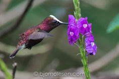 Snowcap Hummingbird (Microchera albocoronata)