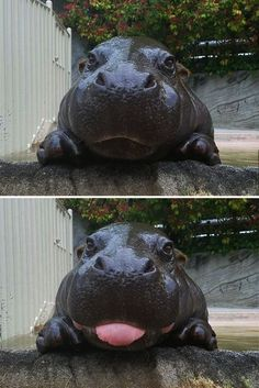 10 Baby Hippos That Will Make Everything Better