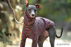 Image result for clothes for italian greyhound costume