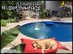 Monday's aren't so bad when you can snooze by the pool! #caseofthemondays #goldenretriever #rescuedog #adoptdontshop