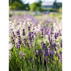 A Gardener's Guide to Lavender ❤ liked on Polyvore featuring backgrounds, pictures, photos, lavender and plants
