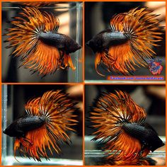 Live Betta Fish Male Black Orange Orchid Black Rims Crowntail CT #835
