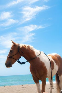 Pinto at the beach.