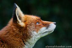 Red Fox by Alannah Hawker