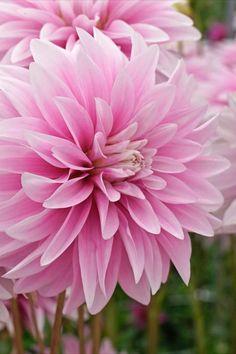 Die Dahlie 'Sweet Tiamo' blüht gefüllt und in einem zarten Rosaton. Sie wird maximal 80 Zentimeter hoch und erfreut von Mitte Juni bis ungefähr Ende Oktober. Easy To Grow Bulbs, Beautiful Roses, Flower Garden, Dahlia, Bulb Flowers, Beautiful Flowers, Love Flowers, Flowers, Dahlia Flower