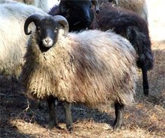 Shetland sheep can have lovely curly horns. They're small and have non-wooly legs.