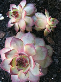 "looks a lot like a pink and white rose - Sempervivum ""Damask"" Succulent Gardening, Cacti And Succulents, Planting Succulents, Planting Flowers, Echeveria, Sempervivum, Cactus E Suculentas, Cactus Planta, Agaves"