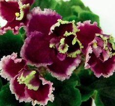 African Violet Plant Fire Moths Opniennye Molyki | eBay