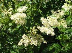 "Filipendula ulmaria (queen of the meadow); 48"", moist/well-drained soil, shade"