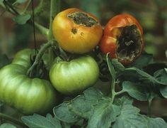 lipsa_calciu_rosii Gardening, Fruit, Vegetables, Nature, Tomatoes, Plant, Naturaleza, Lawn And Garden, Vegetable Recipes