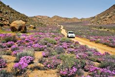 The number one attraction in Namaqualand during spring is of course the wildflowers. During this time the 15 Goegap Nature Reserve, which lies south-east of Springbok, is a highlight for lovers of bright blossoms. Wonderful Places, Beautiful Places, Beautiful Roads, South African Flowers, South Afrika, Out Of Africa, Nature Reserve, Africa Travel, Pictures To Paint