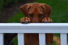 Working the #Cuteness #Rhodesian #Ridgeback #Puppy