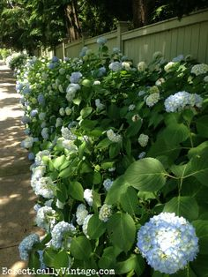 Row of hydrangea bushes - this is fabulous (and tips for drying them)  kellyelko.com