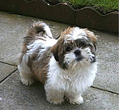 Shih Tzu - a breed of dog weighing 4–7.25 kilograms with long silky hair. The breed originated in China. Shih Tzu were officially recognized by the American Kennel Club in 1969. The name is both singular and plural.