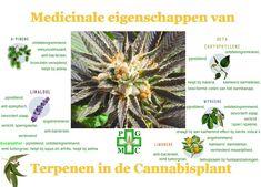Terpenen in Cannabis wat doen die? (PGMCG) | Medical Cannabis Supplies