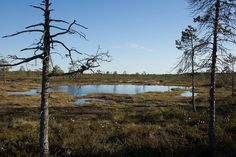 #swamp #Finland #landscape
