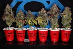 Stunted Art - cannabis micro grow