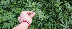 Marijuana Training Techniques: Marijuana growers are often looking for ways to produce better yields and crops.