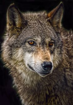 Wolf by Cheri McEachin Wolf Photos, Wolf Pictures, Wolf Spirit, Spirit Animal, Beautiful Creatures, Animals Beautiful, Tier Wolf, Wolf Hybrid, Photo To Art