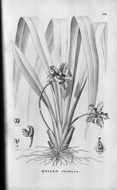 "https://flic.kr/p/e7TGoq   n416_w1150   Flora Brasiliensis, enumeratio plantarum in Brasilia hactenus detectarum. Monachii et Lipsiae [Munich & Leipzig] : R. Oldenbourg ; 1840-1906.. <a href=""http://biodiversitylibrary.org/page/138182"" rel=""nofollow"">biodiversitylibrary.org/page/138182</a>"