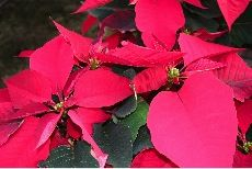 Download Caring for poinsettia PDF (PLPA-108)      Did you know that the Poinsettia is a native plant of Mexico? The Aztecs used to cultivate these plants for their brilliant colors. During the Christmas season, we see lots of poinsettias in the lab. Here ...