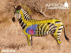 where too shoot a zebra Africa Hunting, Animal Anatomy, Hunting Tips, Zebras, Impala, Elephant, Animals, Badger, Dog