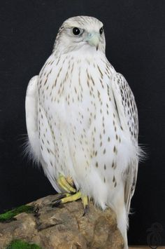 Rare White Falcons You Have Never Seen Before ... image .. #top #best #image #images #photos #pictures #decoration  #falcons #gyrfalcons #rarebirds #whitefalcons #whitegyrfalcons #fashion #style #jewelry #gift ...└▶ └▶ http://www.pouted.com/rare-white-falcons-never-seen/