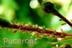 Ces petits arbustes à fleurs magnifiques sont assez difficiles à garder beau robustes et en bonnes...