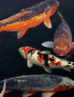 Gardening: Want to Build a Koi Pond? - 12 Tips You Need to Know
