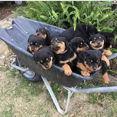 Is Your Rottweiler Driving You Crazy? Remove All The STRESS of Owning a Rottweiler: Dog Behaviour Breakthrough! Rottweiler Love, Rottweiler Puppies, Cute Puppies, Cute Dogs, Dogs And Puppies, Chihuahua Dogs, Doggies, Baby Animals, Dog Cat