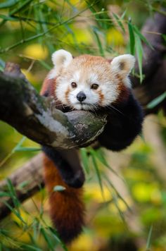 Red Panda by Mathias Appel http://creatures-alive.tumblr.com/post/140884688970/red-panda-by-mathias-appel