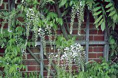 RHS Plant Selector Wisteria floribunda 'Alba' AGM / RHS Gardening