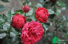 ОСОБЕННОСТИ УХОДА ЗА РОЗАМИ  Вернемся к нашим самым обаятельным и привлекательным цветам - розам. Казалось бы мы уже сделали самое главное - выбрали отличные саженцы и правильно их посадили на самом лучшем участке нашего сада, но не все так просто. Наша королева не только прекрасна, но и очень капризна, строга и прихотлива, впрочем как и все настоящие королевы и требует к себе постоянного внимания. Она может не простить даже маленькие наши ошибки. Поэтому нам очень важно также знать, что…