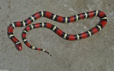 """Scarlet Kingsnake (Lampropeltis triangulum elapsoides). Status listed as """"special concern"""" in Kentucky."""
