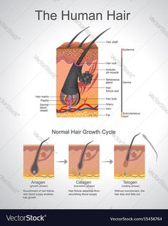 Human hair infographic structure vector image on VectorStock Hair Science, Hair Cutting Techniques, Matrix Hair, Cosmetology Student, Hair Growth Cycle, Skin Structure, Facial Steaming, Unwanted Hair, Laser Hair Removal