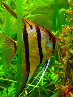 """Pterophyllum scalare sp. """"Rio Nanay"""": Angelfish (Peruvian wild spotted angels)"""