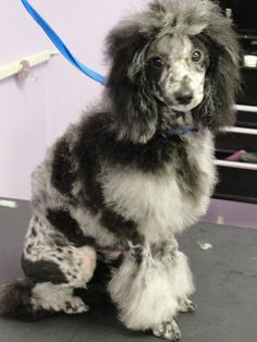 blue merle poodle Bow Wow, Blue Merle, Four Legged, Dog Grooming, Dog Life, Beast, Kennel Ideas, Cute Animals, Creatures