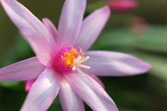 Cactus bloem. Fuji X-E1