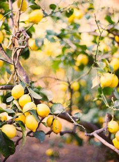 """Lemon tree, very pretty, and the lemon flower is sweet, but the fruit of the poor lemon is impossible to eat"" -Peter, Paul, & Mary"